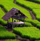 Shen-Men-Feng-Shui-rice-field.jpg