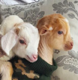 two-baby-goats-on-a-couch-sweater-Shen-Men-Feng-Shui