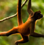 spider-monkey-leap-for-joy-new-moon-Shen-Men-Feng-Shui