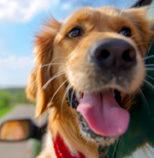 Happy Dog wagging. Head hanging outside car window. Shen Men Feng Shui