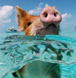 Pig swimming of Big Major Cay Bahamas.