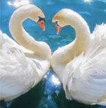 two-swans-trust-the-magic-of-beginnings-Shen-Men-Feng-Shui-blog